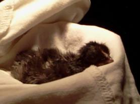 Our first baby chick hatched in an incubator